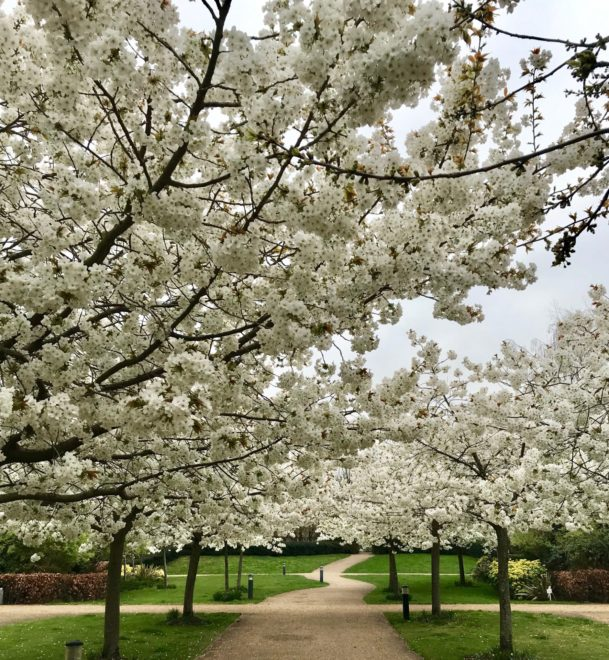 Cherry Trees at Kew Riverside